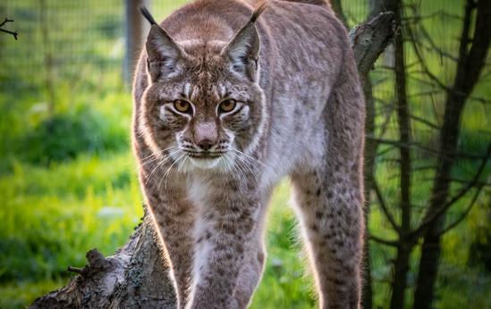 Lynx legendia parc